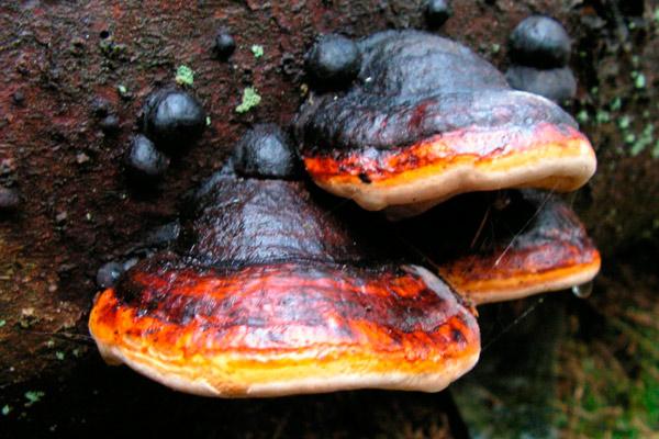 Трутовик окаймлённый – лат. Fomitopsis pinicola