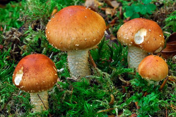 Чешуйчатка слизистая – Pholiota lubrica