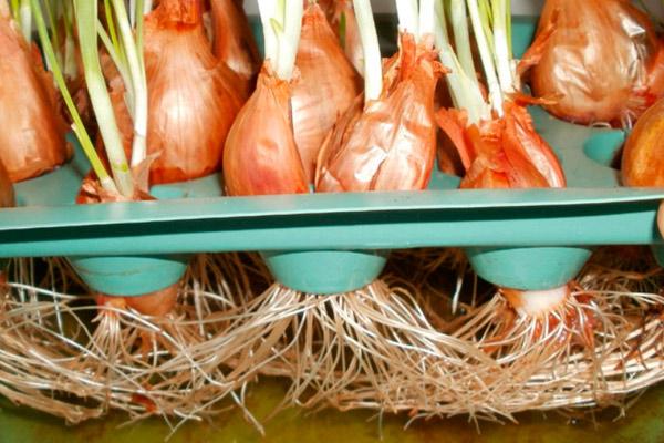 Посадка лука в ячейки из-под яиц, сделанных из пластика