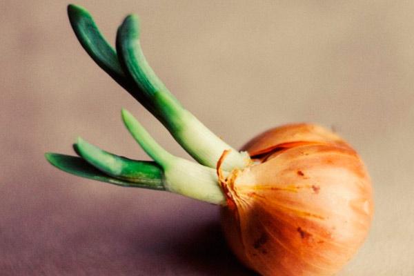 как посадить проросший лук