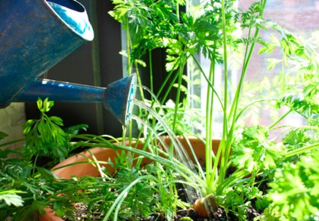 Как поливать морковные посадки