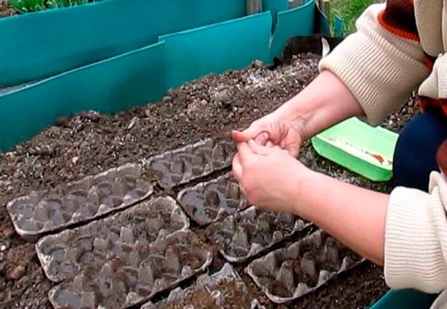 Как посадить морковь в грядку с помощью ячейки для куриных яиц