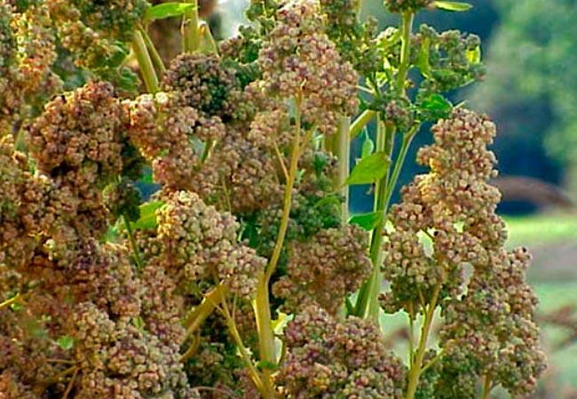 Полезные свойства семян кинвы