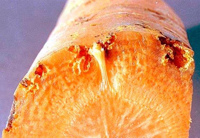 Как бороться с проволочником на моркови