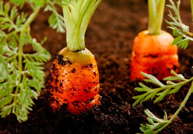 Чем подкормить морковь в июне