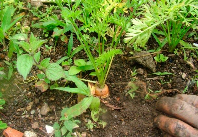 Гербициды для моркови по всходам