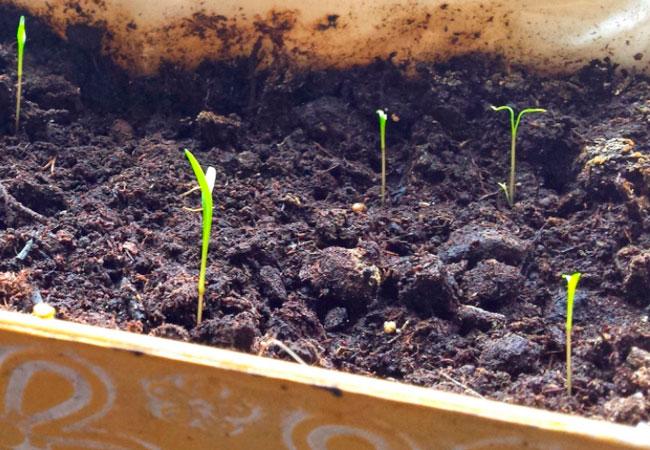 Как сеять морковь на подоконнике (балконе)