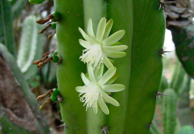 Как поливать Myrtillocactus