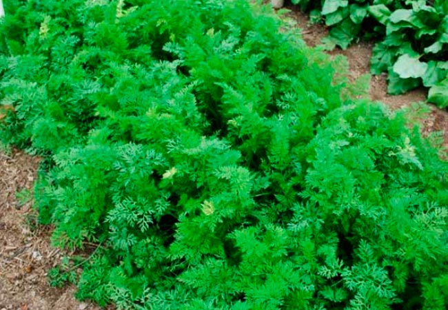 Можно ли сыпать золу под морковь как удобрение