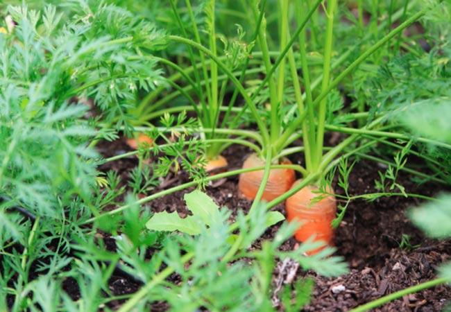 Кудрявится морковь, что делать народные средства