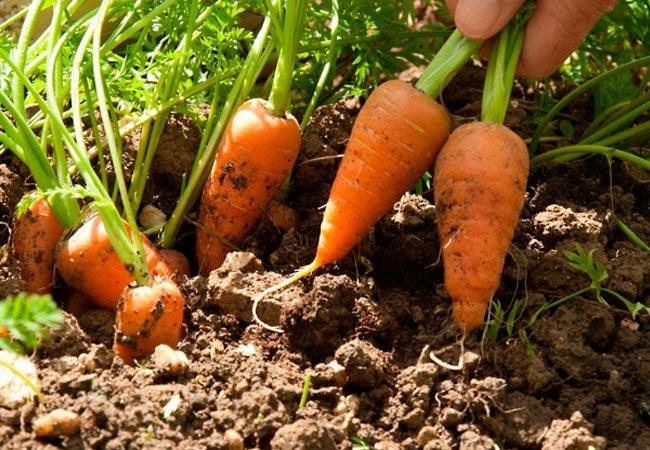 Высев морковных семян с песком
