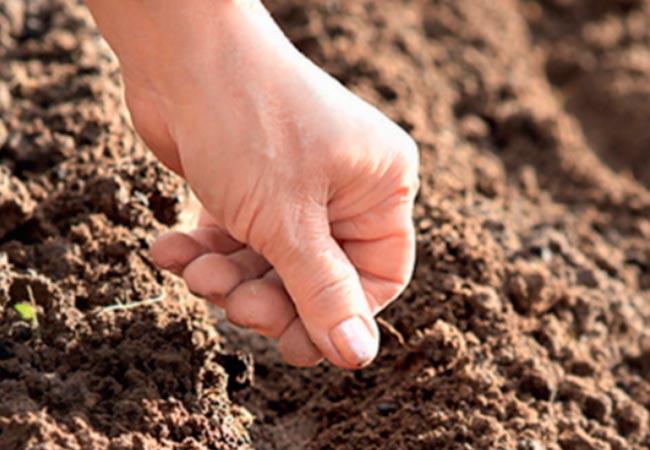 Как производится посадка моркови с песком