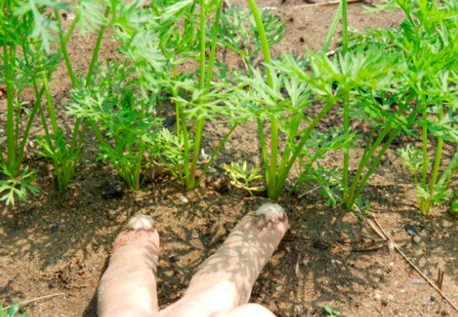 Как прополоть морковь ножницами
