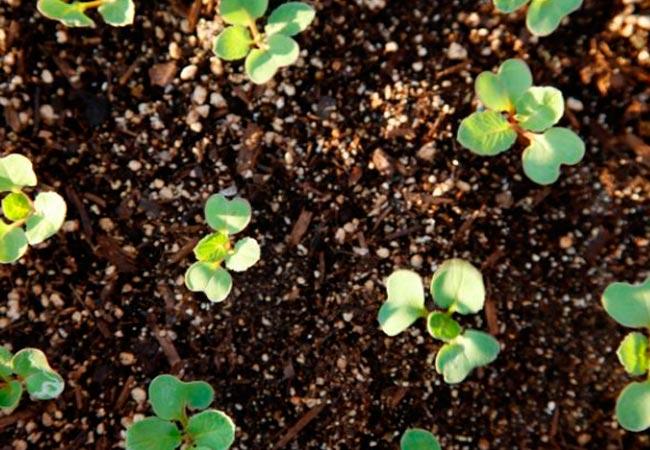 Как часто поливать тепличную и огородную редиску