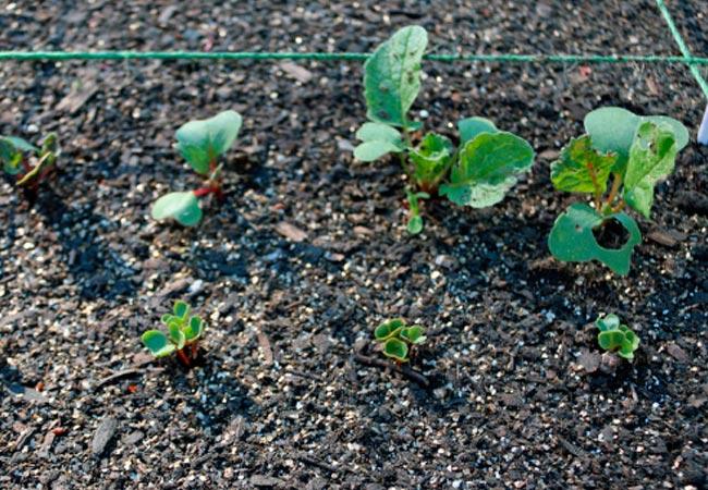 Как сажать редиску семенами