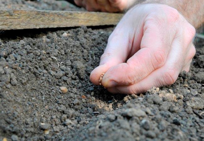Как сажать редиску в открытый грунт семенами