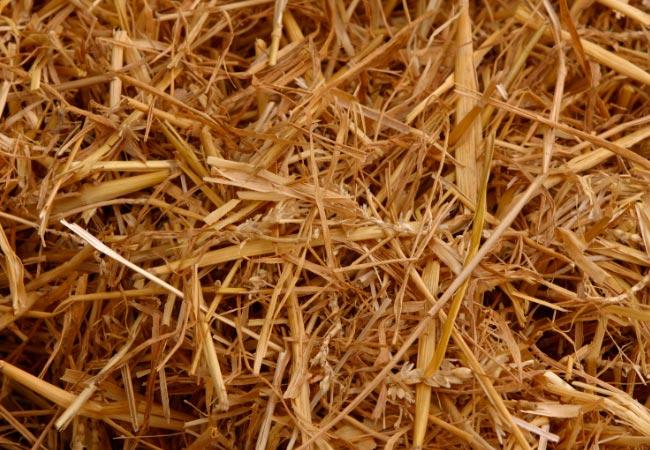 Подготовка соломы к выращиванию вешенок