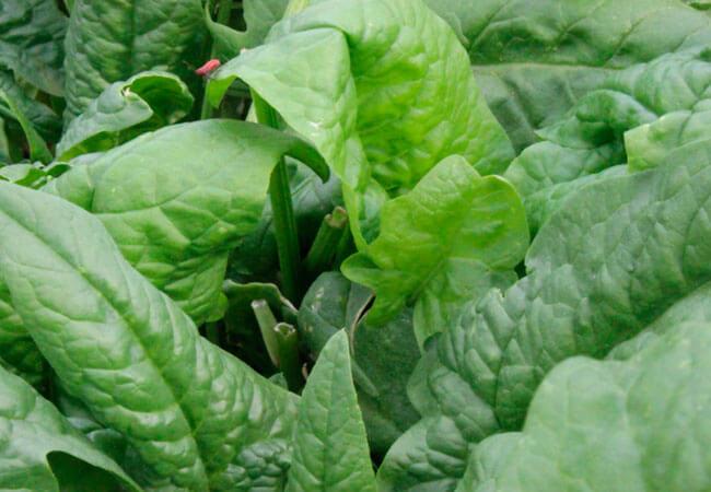 Как заготовить шпинат на зиму