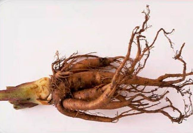 Химический состав ревеневых корней