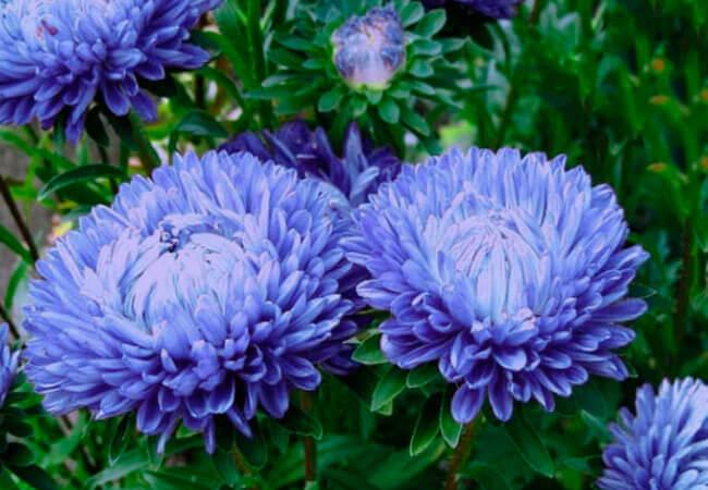 Цветок астра фото