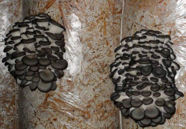 Как рассчитать урожайность грибных блоков