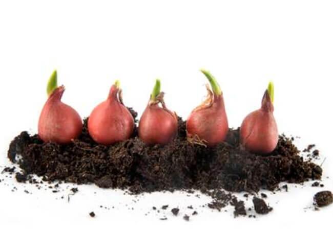 Как сажать тюльпаны весной, чтобы они зацвели
