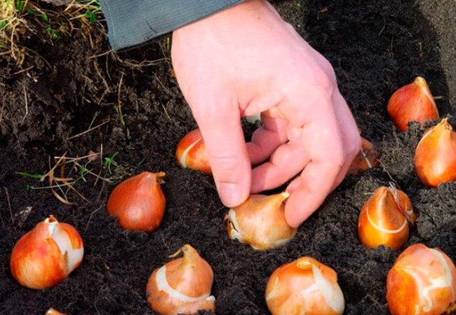 Как посадить весенние тюльпаны