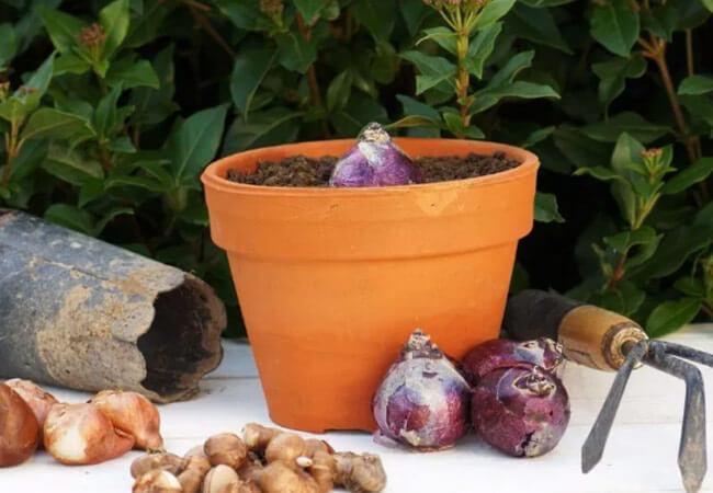 Посадка луковиц для выгонки тюльпанов