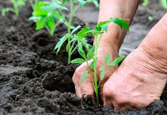 Прореживание рассады томатов