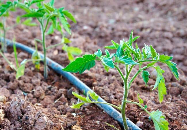 Когда сеятьсемена помидоров на рассаду