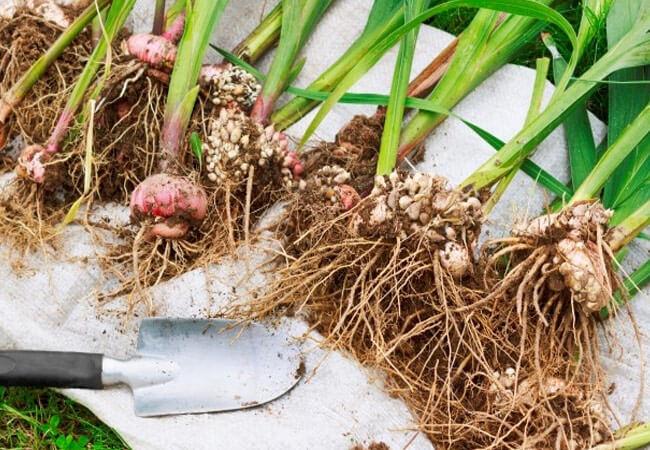 Как правильно выкапывать луковицы гладиолусов