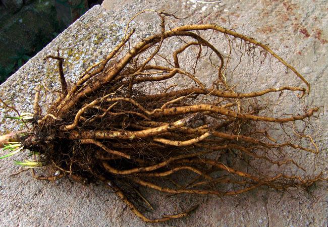 Как заготовить и измельчить корень шиповника