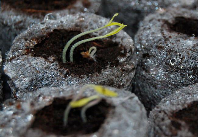 Как вырастить помидоры из семян в торфяных таблетках