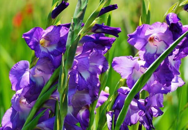 Как правильно ухаживать за гладиолусами после цветения
