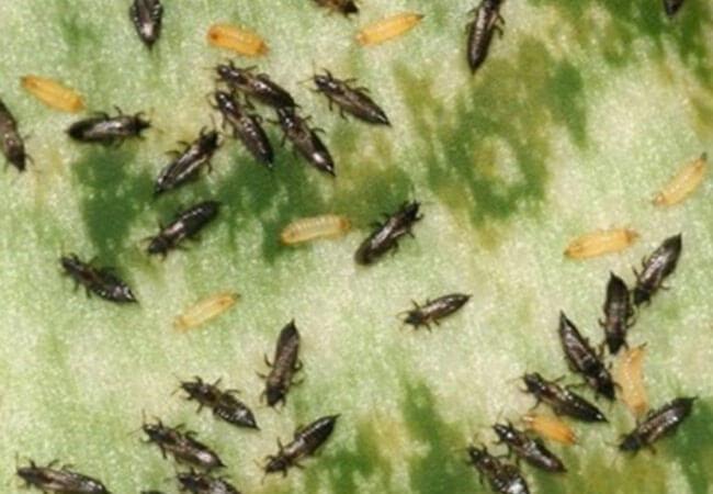 Болезни гладиолусов от вредителей