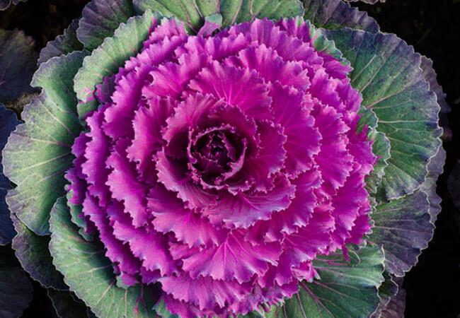 Как размножить декоративную капусту