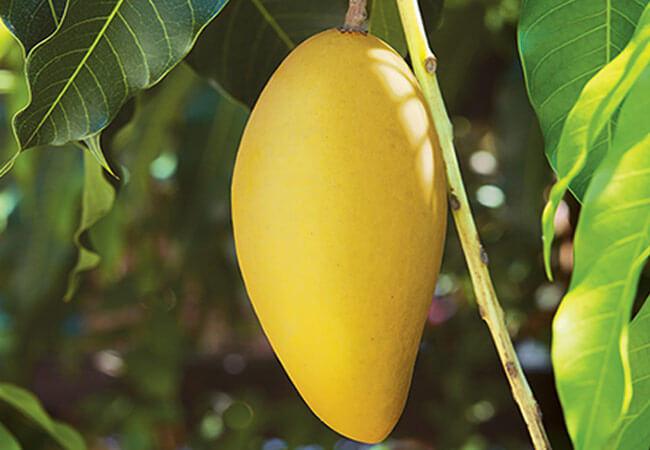 Применение экстракта манго