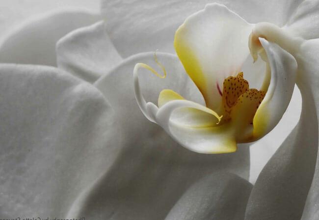 Эфирное масло орхидеи для лица