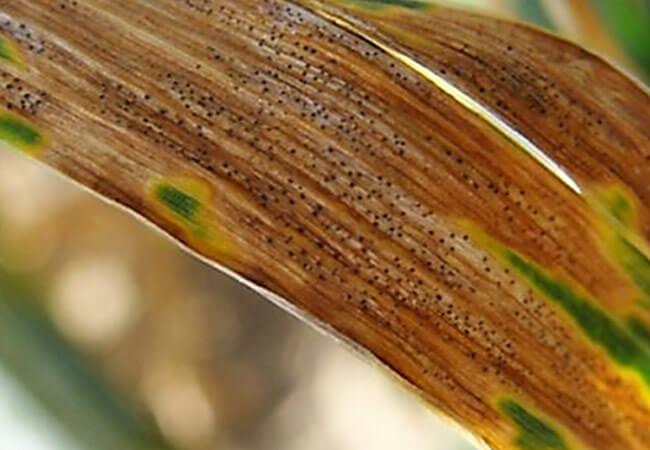 Септориоз - твердая гниль гладиолусов