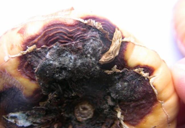 Фузариоз – сухая гниль у гладиолусов