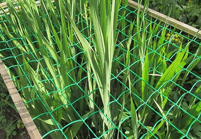 Как подвязывать гладиолусы сеткой