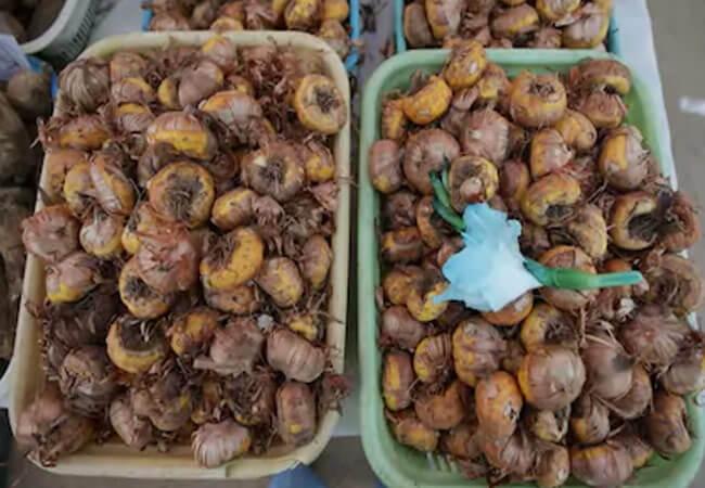 Отправляем луковицы на зимовку