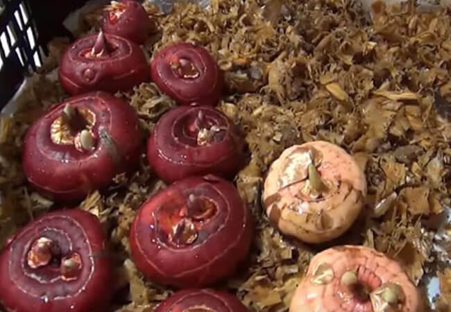 Как просушить луковицы