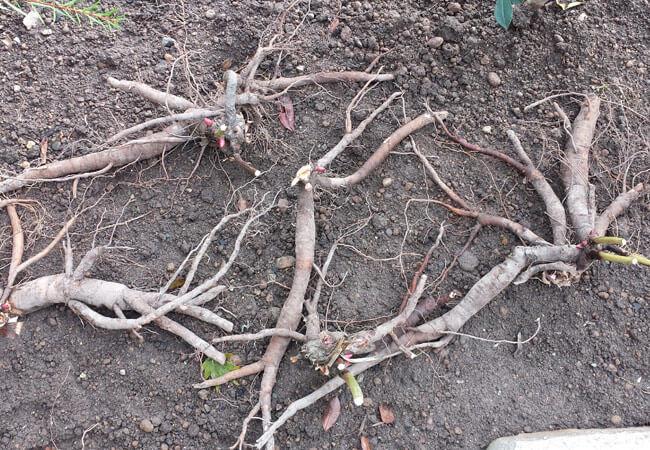 Размножение пионов методом подрезки корней