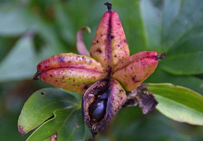 Как размножить пионы семенами