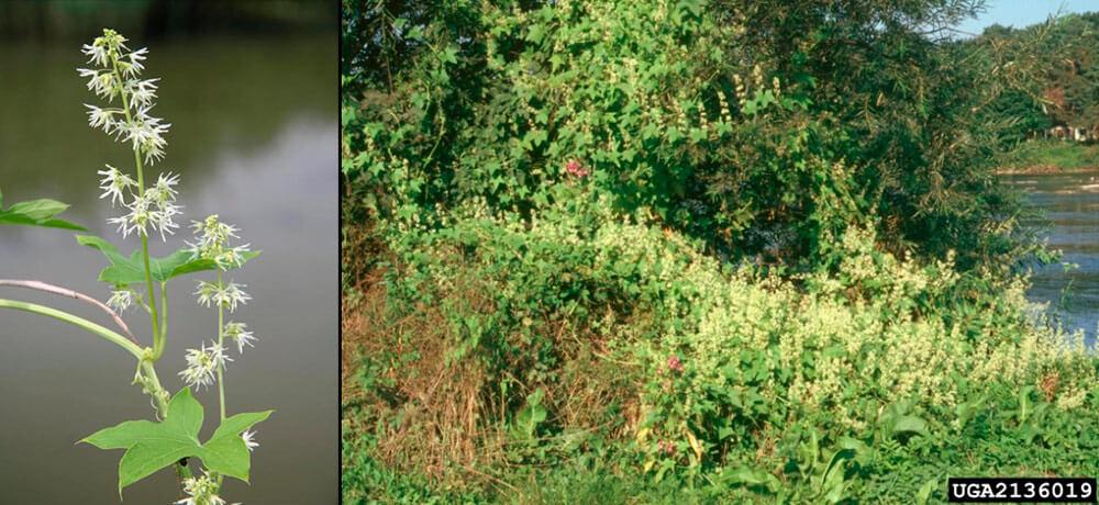 Колючеплодник лопастный (пузырник, иглистый огурец) (Echinocystis lobata (Michx.) Torr. et Gray )