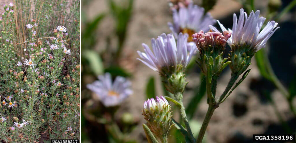 Астра иволистная (Symphyotrichum × salignum)