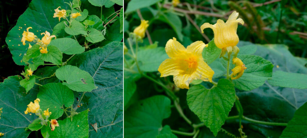 Тладианта сомнительная (Thladiantha dubia Bunge)