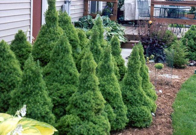 Можно ли выращиватьель Глауку Коникув домашних условиях