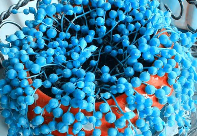 Хлорофитум Синий Жемчуг